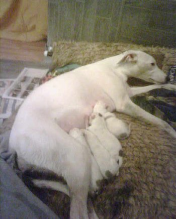 Pictures Of 5 Weeks Pregnant. MY WHIPPET IS 5 WEEKS PREGNANT